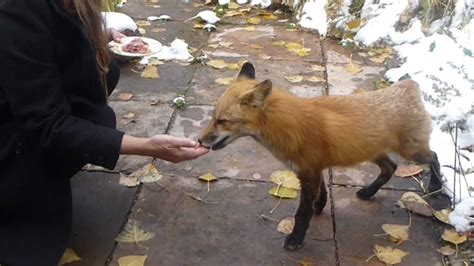 Tailless Fox Likes to be Handfed